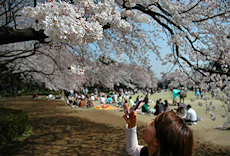 Japan Cherry Blossom Photos