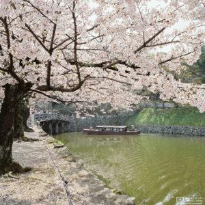 Sakura Cherry Blossom Boat Tour, Hikone, Japan Photo