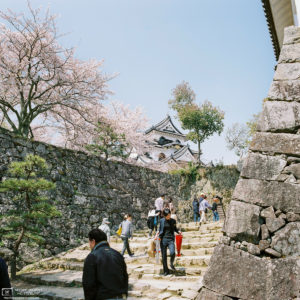 Hikone Castle Cherry Blossoms, Hikone, Japan Photo