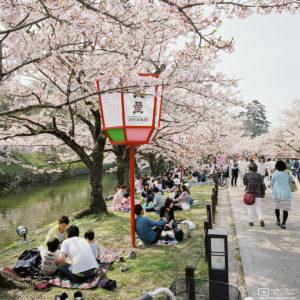 Hanami (Cherry Blossom Viewing) at Genkyuen Garden, Hikone, Japan Photo