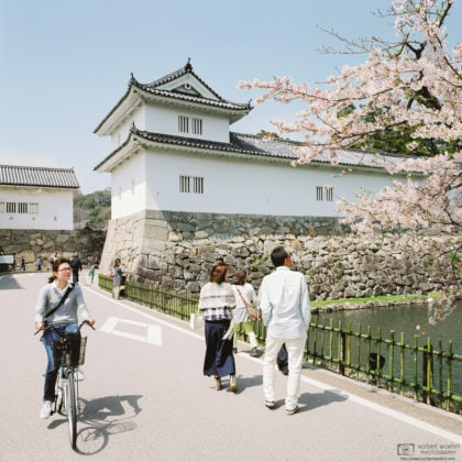 Cherry Blossom Season at the Castle Premises, Hikone, Japan