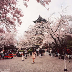 The inner yard of Inuyama Castle north of Nagoya, Japan, during the Cherry Blossom Season.
