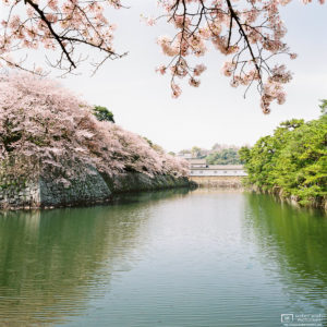 Cherry Blossoms in full bloom along the moat of Hikone Castle in Shiga Prefecture, Japan.