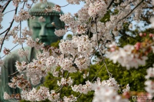 A view of the Daibutsu (大仏; Great Buddha) in Kamakura, Japan, during the Cherry Blossom Season.