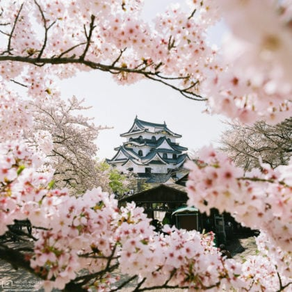 A view of Hikone Castle in Shiga Prefecture, Japan, during the Cherry Blossom Season.
