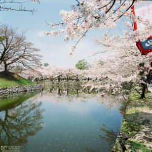 Castle Moat Cherry Blossoms, Hikone, Japan Photo