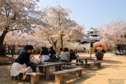 Cherry trees in full bloom, and a friendly mascot, at Matsuyama Castle on the southern island of Shikoku, Japan.