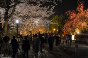 Sakura Illuminations at Gion, Kyoto, Japan Photo