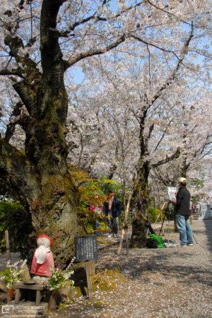 Sakura Hanami Painter at Ivy Square, Kurashiki, Japan Photo