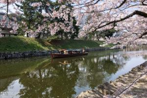Sakura Hanami at Hikone Castle, Shiga Pref., Japan Photo
