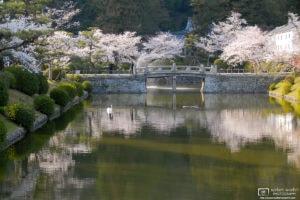 The Swan, Cherry Blossoms at Kikko Park, Iwakuni, Japan Photo