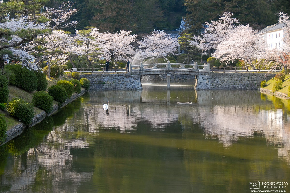 A swan is gliding across a reflection of cherry blossoms at Kikko Park in Iwakuni, Japan.