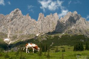 Cow grazing in Alpine Country, Hochkönig Range, Salzburg, Austria Photo