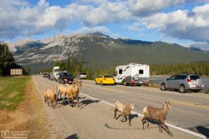 Roadside Bighorn Sheep, Jasper National Park, Alberta, Canada Photo