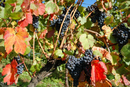 Delicious grapes and colorful leaves on a sunny autumn day at a vineyard in Beilstein, Baden-Württemberg, Germany.