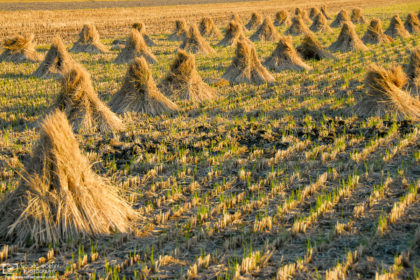 Straws on a rice field after harvest, as seen in the countryside east of Okayama, Japan.