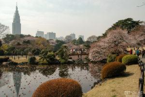Cherry Blossoms, Shinjuku Gyoen, Tokyo, Japan Photo