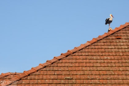 A young White Stork surveying the scene from a rooftop in the village of Rust, Burgenland, Austria.