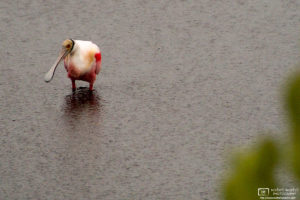 A Roseate Spoonbill (Ajaia ajaja) is seen during pouring rain at Merritt Island National Wildlife Refuge, Florida.