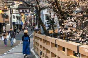 Afternoon sunlight on the cherry blossoms in the Nakajuku district of Itabashi-ku, Tokyo, Japan.