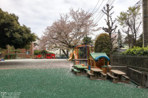 Fallen cherry blossoms at a children's playground in Itabashi-ku, Tokyo, Japan.