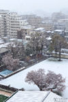 A sudden snowy episode during the sakura season at the end of March, in a neighborhood of Itabashi-ku in Tokyo, Japan.
