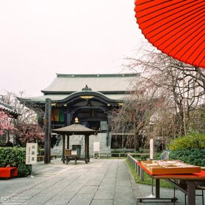 An early cherry blossom season visit to Nanzoin Temple in Itabashi-ku, Tokyo, Japan.