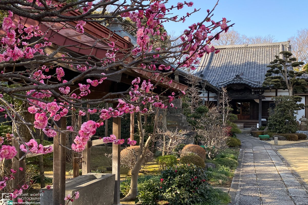 An early February showing of plum blossoms at Ryūfukuji Temple in Itabashi-ku, Tokyo, Japan.