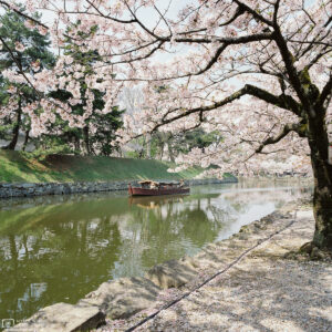 During Cherry Blossom season, the moat of Hikone Castle in Shiga Prefecture, Japan, provides a particularly scenic setting for boat tours.