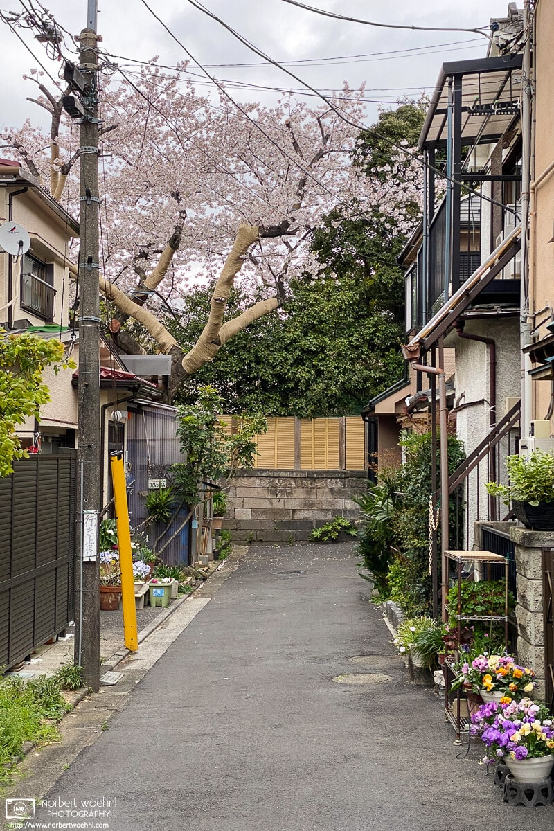 A cherry blossom tree is in full bloom in this dead-end street in the Maenocho area of Itabashi-ku, Tokyo, Japan.